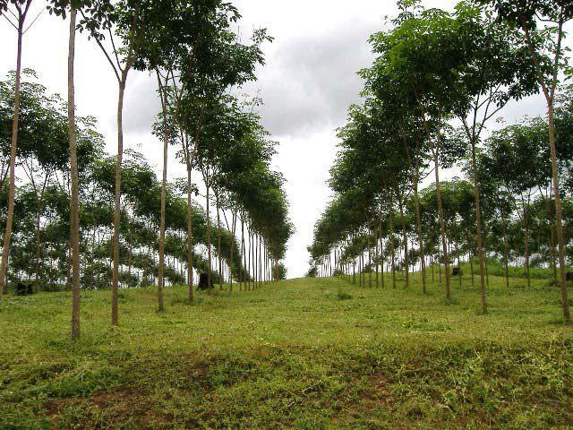 ขายสวนยาวพารา 300 ไร่ ยาง 3-4-5 ปี ต้นยางสวยมาก ใกล้หมู่บ้าน เส้นทางสะดวก ขายพร้อมบ้าน มีน้ำไฟ อยู่ อ.สังขละ จ.กาญจนบุรี
