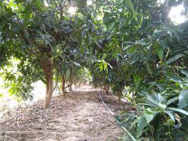 ขายที่ดินพร้อมบ้านและสวน(มะม่วง+มะนาว)