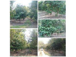 สวนผลไม้สวยสมบูรณ์ โฉนด 2 ไร่  ยกแปลง 9 แสน น่าสนใจ