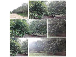 สวนมังคุด+เงาะ โฉนด 1 ไร่ มะขาม น่าซื้อ