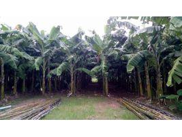 ขายที่ดินพร้อมกล้วยหอมทอง กล้วยน้ำว้า และฝรั่งครับ