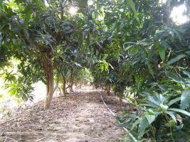 ขายที่ดิน+สวนมะม่วง+มะนาว+กล้วย