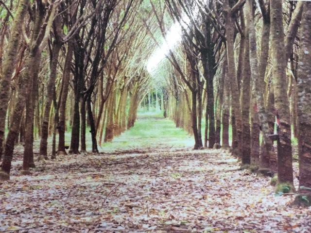 ขายสวนยางพารา 56 ไร่ อำเภอขลุง จ.จันทบุรี