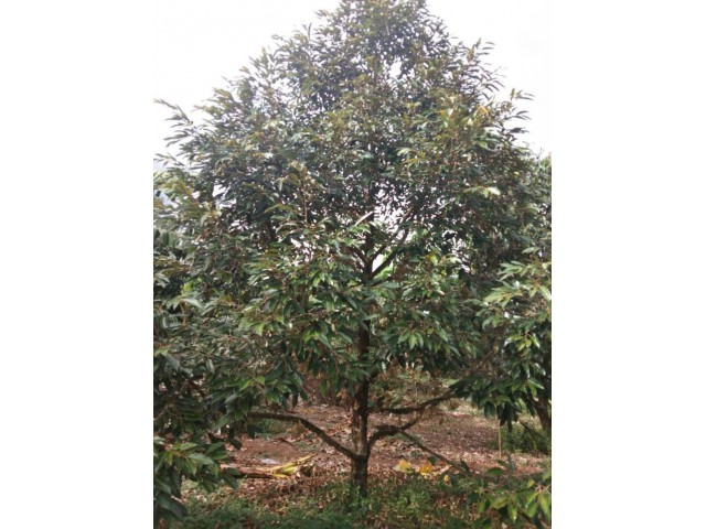 ขายสวนทุเรียน 52 ไร่ ให้ผลผลิตแล้ว (700,000 บาท/ไร่) ทุเรียน 1,400 ต้น