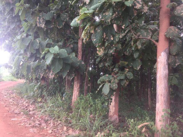 ที่โฉนด 1 ไร่ สวนสักทองทั้งแปลง ท่าม่วง ใกล้เมืองกาญจนบุรี