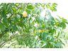 ขายสวน 3 ไร่ มีโฉนด ไร่ละ 1.2 ล้านบาท เก็บผลผลิตได้ มีถนนทางเข้า